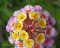 Traper - kwiaty