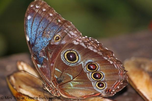Mini Traper - Motyl Morpho