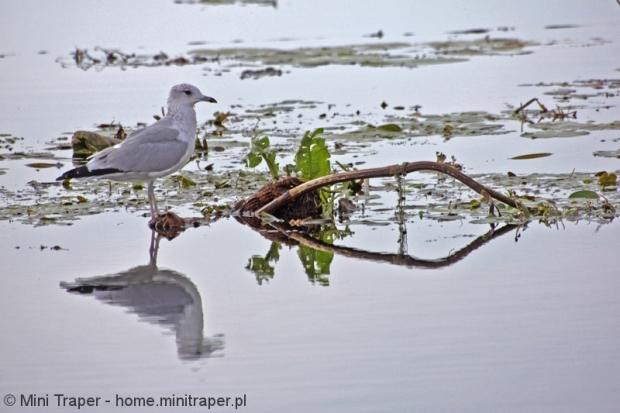 Mini Traper - Jezioro Drużno