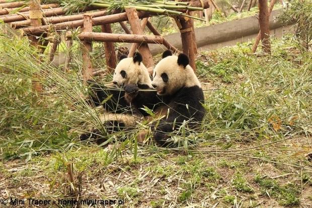 Mini Traper - Chengdu, panda wielka