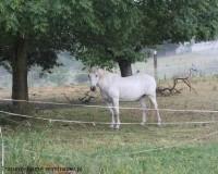 Mini Traper - Śnieżnobiały koń