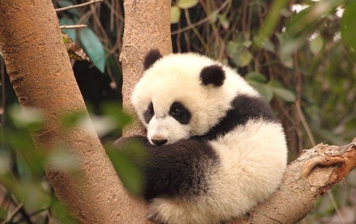 Mała panda
