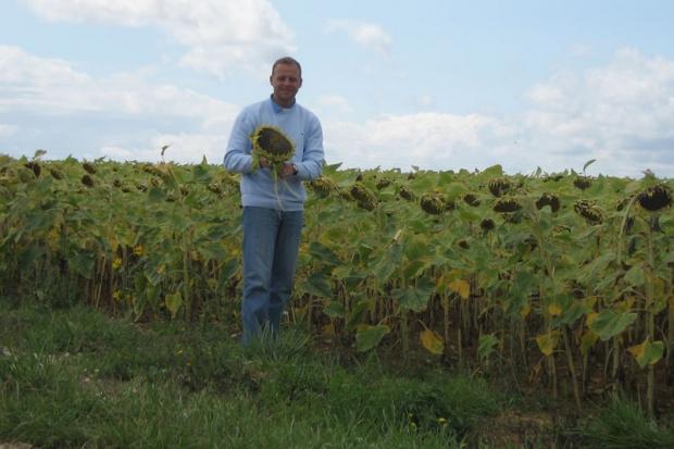 Burgundzkie słoneczniki