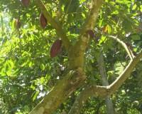Wenezuela, kakaowiec